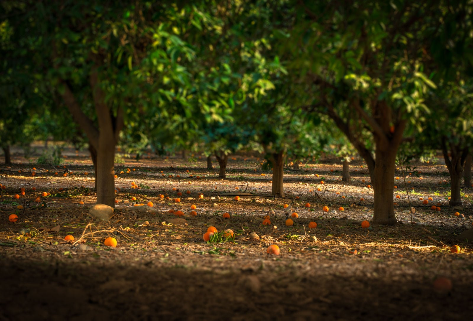 lo150127-7188hdr-citrus-orchard-end-of-reeves-rd-ojai